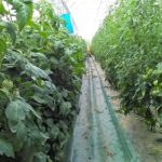 Les rangées de tomates