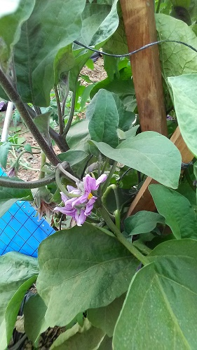 Fleurs d'aubergine