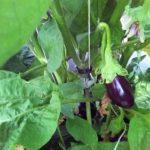 Petite aubergine
