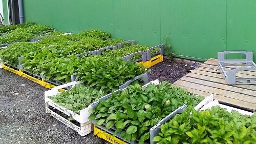 Les plants prêts pour le repiquage
