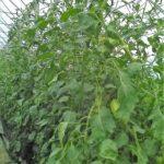 Tomates longues